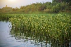 Paddy auf Frischwassermeer Stockfotos