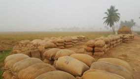 Paddy bags in rural india. Harvested paddy grains in rural india Royalty Free Stock Photo