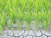 Paddy cracked for water shortage Royalty Free Stock Photography