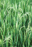 Paddy Crop, Bali, Indonesia Royalty Free Stock Photography