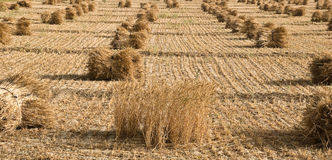 Paddy Crop at final stage. Paddy Crop is at final stage. It is bundled for separation. There is one part of crop, which is still pending for cutting Royalty Free Stock Photography