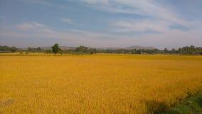 Paddy Crop Harvesting fotografia stock libera da diritti