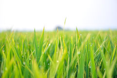 Paddy crops. A breathtaking view of Dew sitting on paddy crops Royalty Free Stock Image