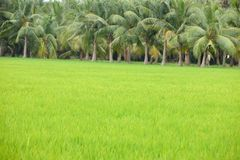 Paddy cultivation in india royalty free stock photography