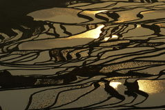 paddy d'or de zone photographie stock libre de droits