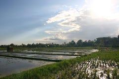 Paddy de gisement de riz Image libre de droits