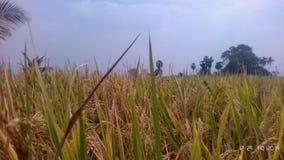 Paddy de vert de nature image libre de droits