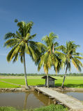 Paddy farm. And coconut tree Royalty Free Stock Photos