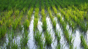 Paddy farm. Is on the land. Landscape is beautiful stock images