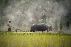 Paddy Farming. Asian farmer rainy season farming and buffalo plowing a rice field Stock Image