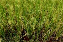Paddy-Feld in Kambodscha Lizenzfreies Stockbild