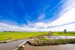 Paddy-Felder in Kambodscha Stockbild
