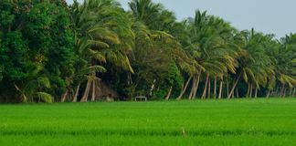 Free Paddy Field 1 Stock Images - 36056274