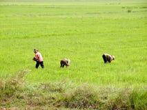 Paddy-field Stock Photo
