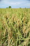 Paddy field. Stock Photo
