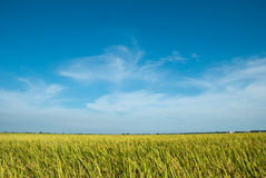Paddy Field. A wide view of paddy field stock photo
