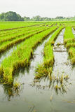 The Paddy field. In the bangkok thailand stock image