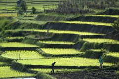 Paddy field. Farmers on daily work in the paddy field Stock Photo
