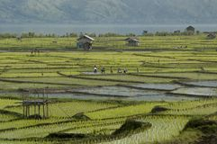 Paddy field. Farmers on daily work in the paddy field Royalty Free Stock Images