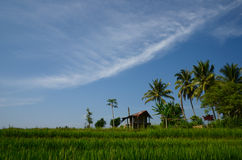 Paddy field Stock Photos