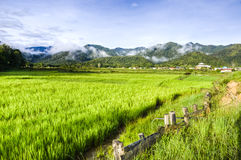 Paddy field. This paddy field call sawah padi in malay Stock Photography