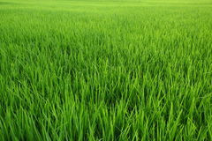 Paddy  field Royalty Free Stock Image