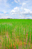Paddy Field. The beautiful scenery of paddy field in Kedah, Malaysia Stock Images