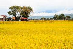 Paddy Field Fotografia Stock