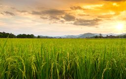 Free Paddy Field Royalty Free Stock Images - 42547379