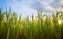Paddy Field Photographie stock libre de droits