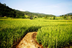 Paddy Field Photographie stock
