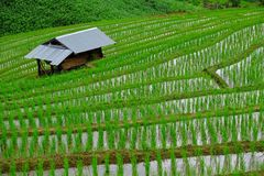 Paddy Field Imagem de Stock Royalty Free
