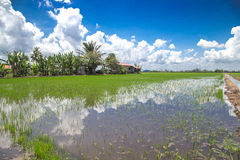 Paddy Field Photos libres de droits