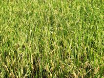 Paddy Field Stockbild