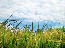 Paddy field. With bue sky and clouds royalty free stock images