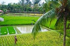 Paddy field. At Kedah, Malaysia royalty free stock photos