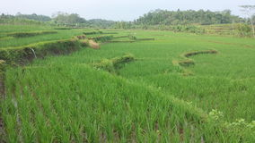 Paddy Field Royalty-vrije Stock Afbeelding
