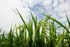 Paddy field. The paddy field .shoot it in South China Royalty Free Stock Photos