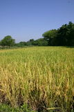 Paddy field. S india Stock Photography