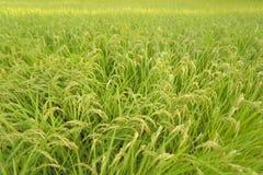 Paddy field Stock Photos