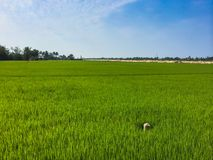 Paddy Field Fotografia de Stock Royalty Free