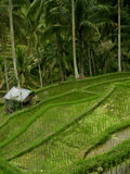 A Paddy-Field stock photo