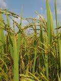 Paddy Field Immagini Stock