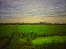 Paddy Field Foto de Stock