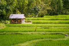 Paddy Field Photo stock