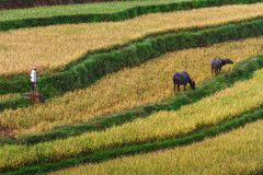Paddy Field Foto de Stock Royalty Free