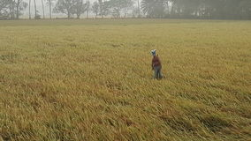 Paddy Field Imagen de archivo