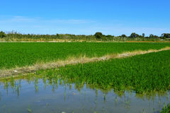 Paddy field in the Albufera in Valencia, Spain Stock Photography