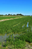Paddy field in the Albufera in Valencia, Spain Royalty Free Stock Images