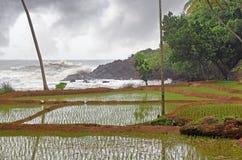 Paddy Field along Sea Coastline Stock Photo